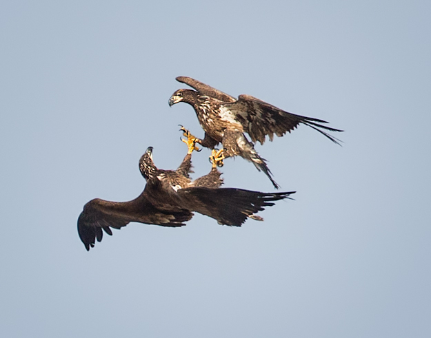 iowa_eagles_aerial_fight_011813_0007
